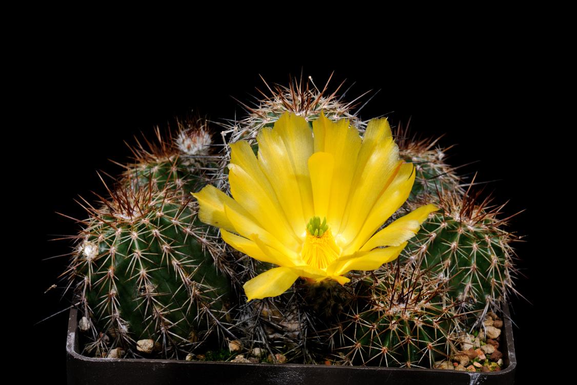 Echinocereus stoloniferus subsp. tayopensis, Mexico, Sonora, Yecora - Maycoba