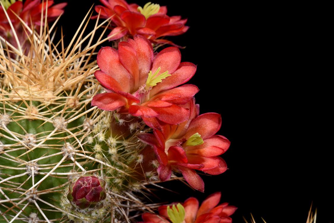 Echinocereus yavapayensis, USA, Arizona, Yarnell
