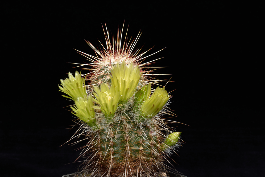 Echinocereus milleri, USA, Texas, Coke Co.