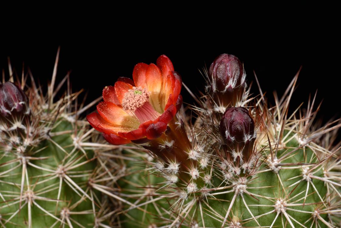 Echinocereus pacificus, Mexico, Baja California, Agua Caliente