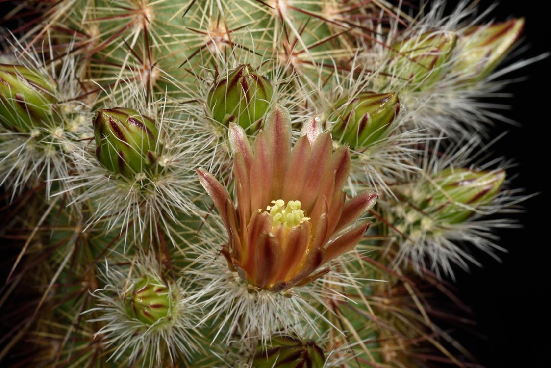 Echinocereus russanthus, USA, Texas, Brewster Co., Rosillos Mts.