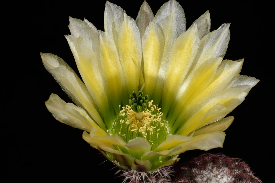 Echinocereus pectinatus, USA, Texas, Brewster Co.