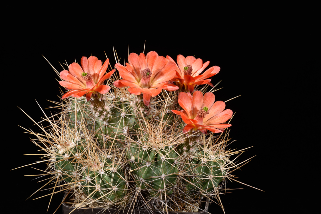 Echinocereus pacificus subsp. mombergerianus, Mexico, Baja California, Sierra San Pedro Martir