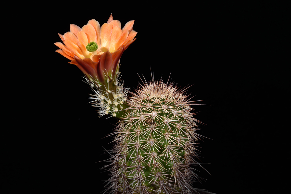 Echinocereus xlloydii, USA, Texas