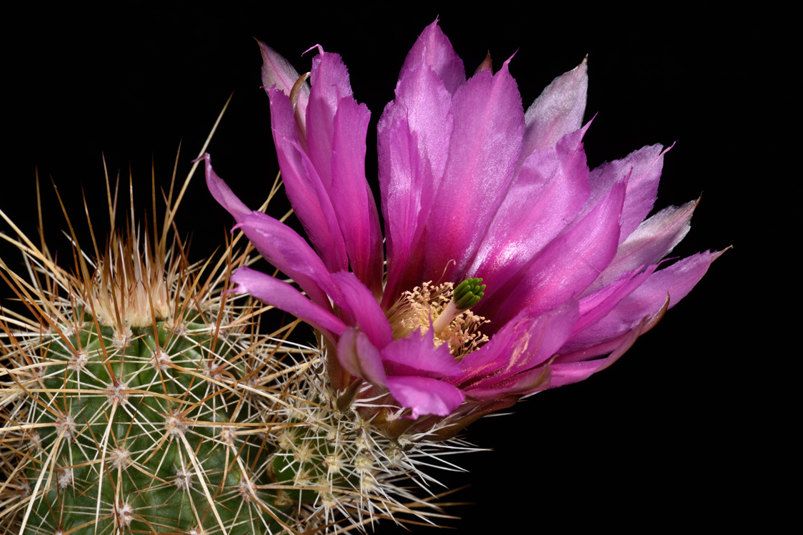 Echinocereus engelmannii, USA, Arizona, Maricopa Co., Wickenburg