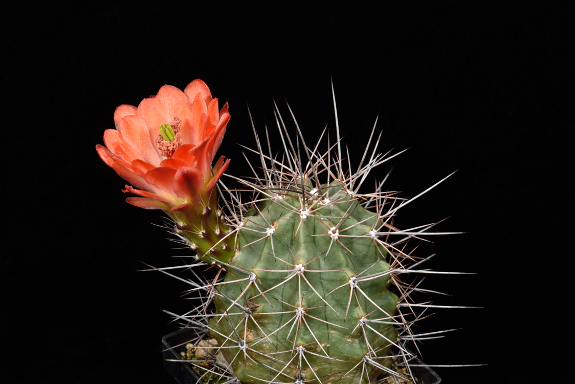 Echinocereus coccineus, USA, New Mexico, Chaves Co.