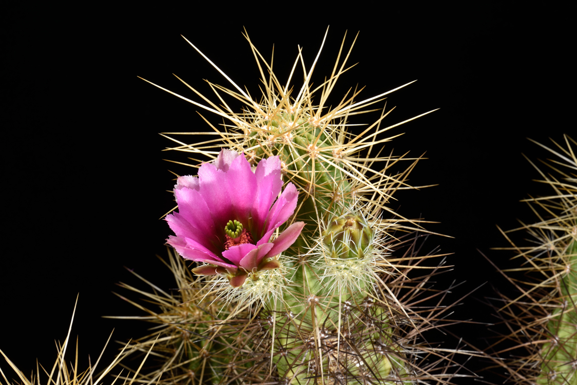 Echinocereus nicholii, USA, Arizona
