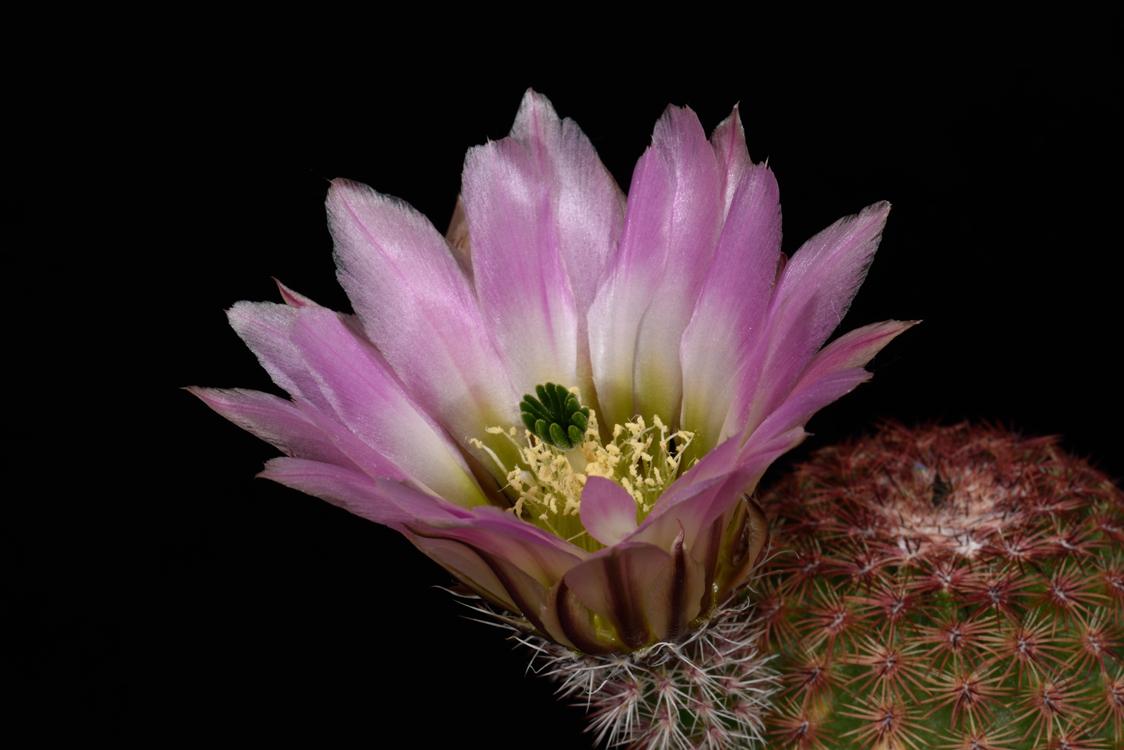 Echinocereus pectinatus, Mexico, Durango, Las Minas Navidad