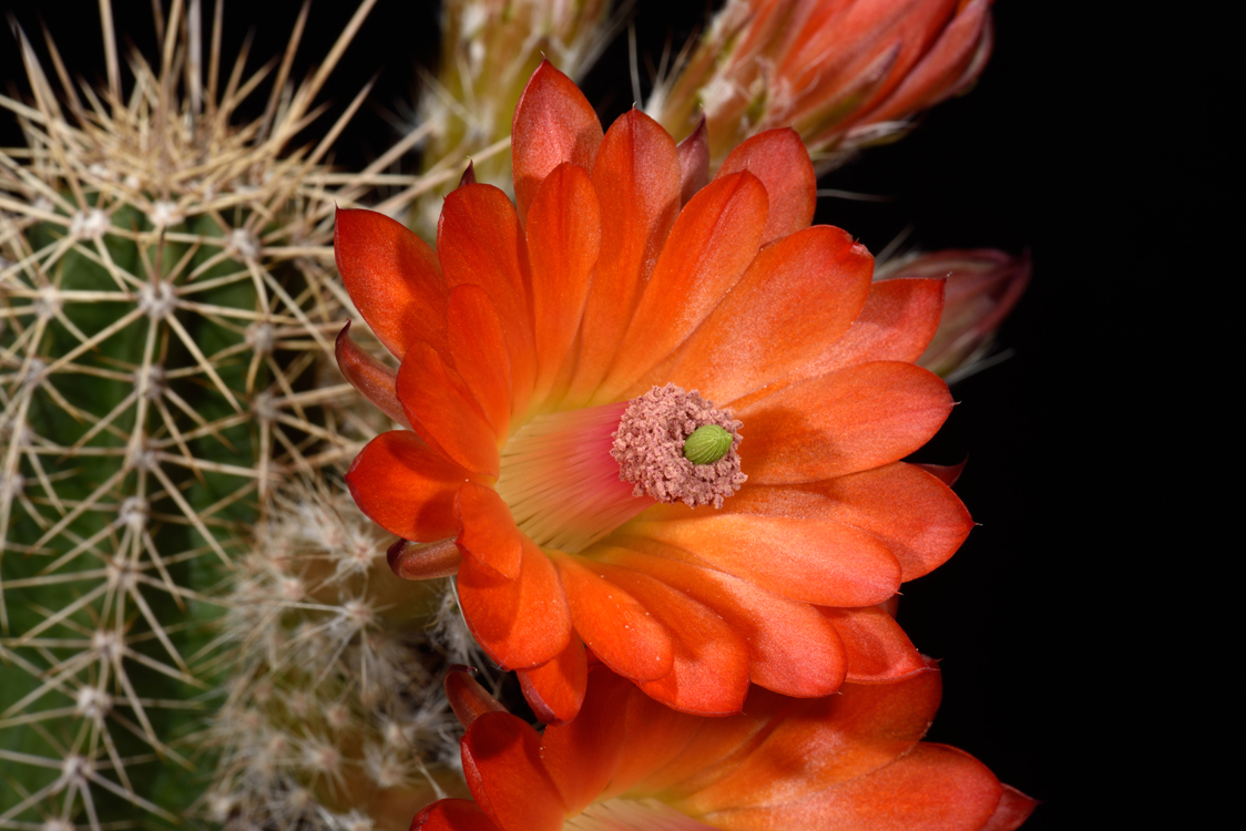 Echinocereus salm-dyckianus, Mexico, Chihuahua, La Junta - Yecora