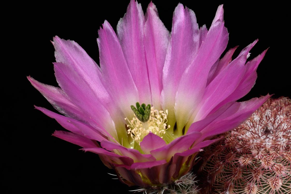 Echinocereus pectinatus, Mexico, Chihuahua, Las Boquillas