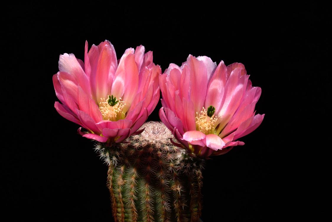 Echinocereus pectinatus, Mexico, Delante