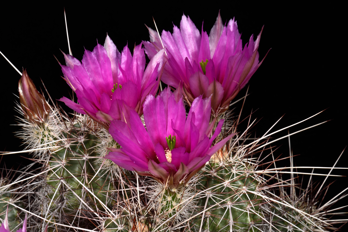 Echinocereus engelmannii, USA, Arizona, Seligman - Kingman
