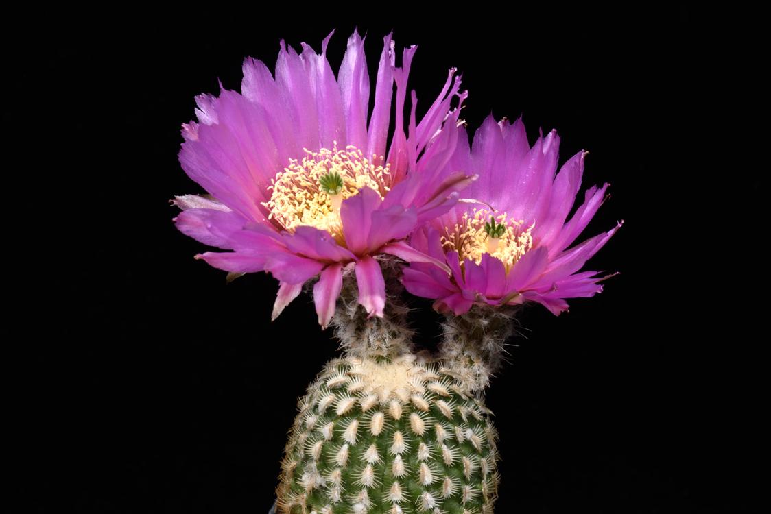 Echinocereus reichenbachii fa. miniature, USA, Texas