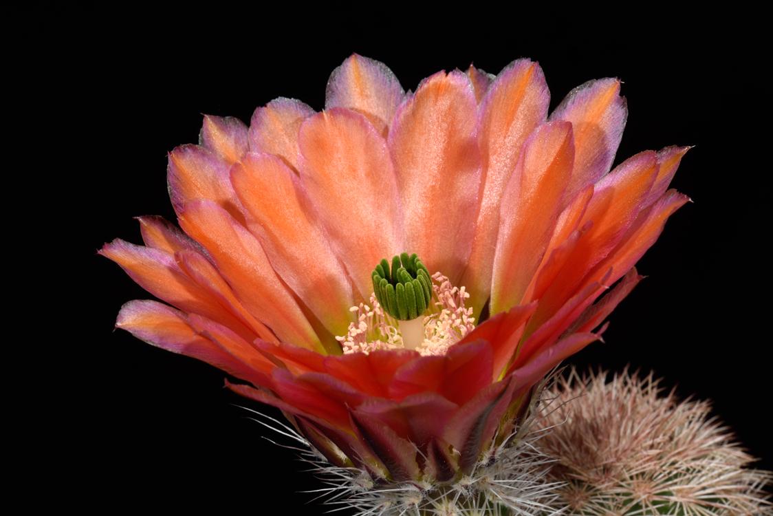 Echinocereus dasyacanthus, USA, Texas, Pecos Co.
