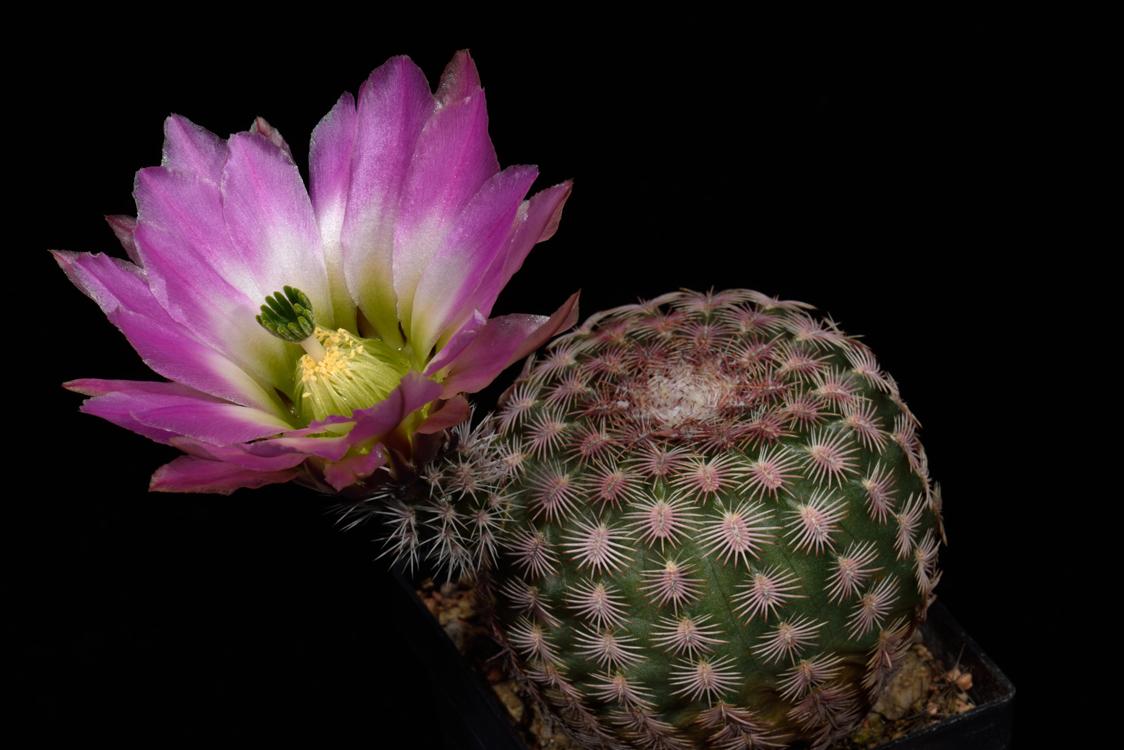 Echinocereus pectinatus, Mexico, Chihuahua, Jiminez, Straße 24