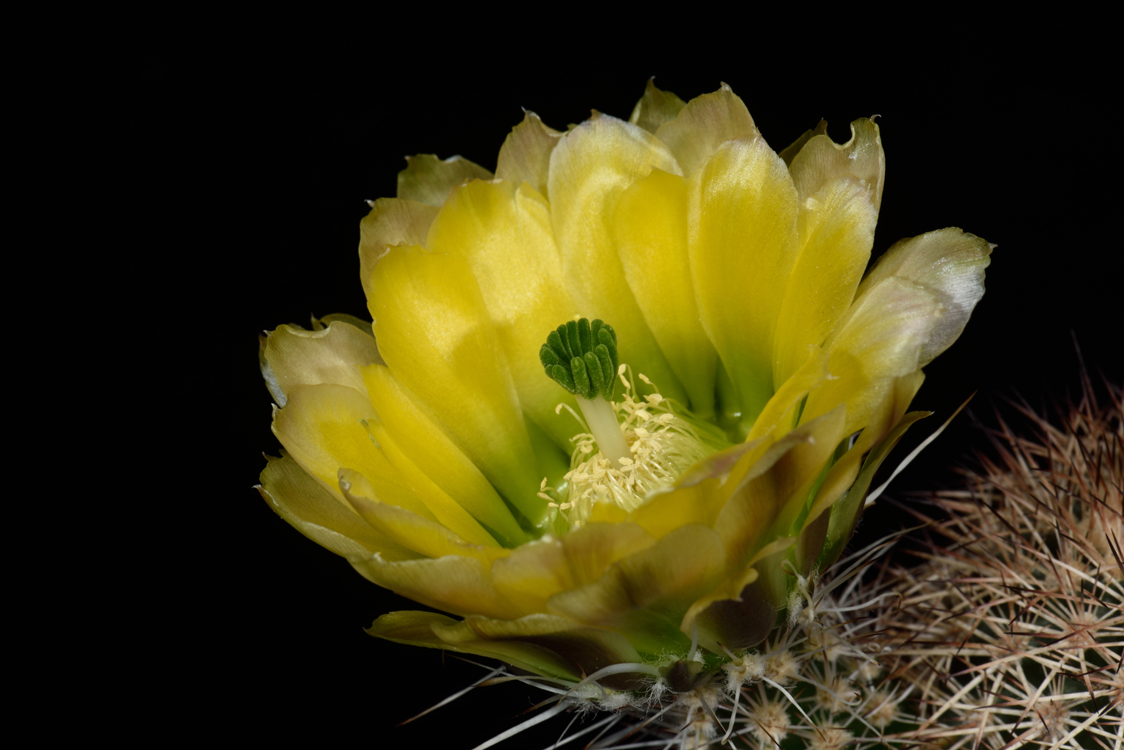 Echinocereus dasyacanthus, USA, Texas, Presidio Co., CR117