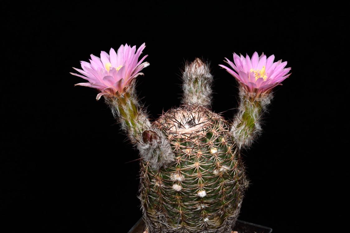 Echinocereus adustus, Mexico, Chihuahua, Cusihuiriachic