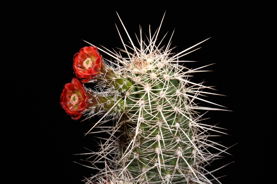 Echinocereus canyonensis fa. toroweapensis, USA, Arizona, Toroweap Point