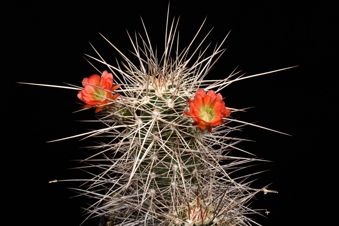 Echinocereus canyonensis fa. toroweapensis, USA, Arizona, Supai