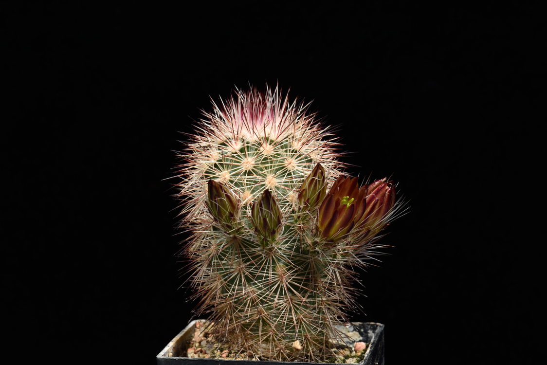 Echinocereus russanthus, USA, Texas, Brewster Co., Riverroad West