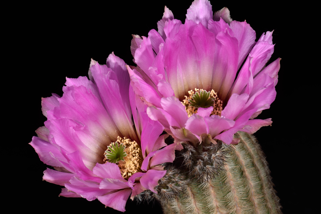 Echinocereus reichenbachii, Mexico, Coahuila, General Cepeda