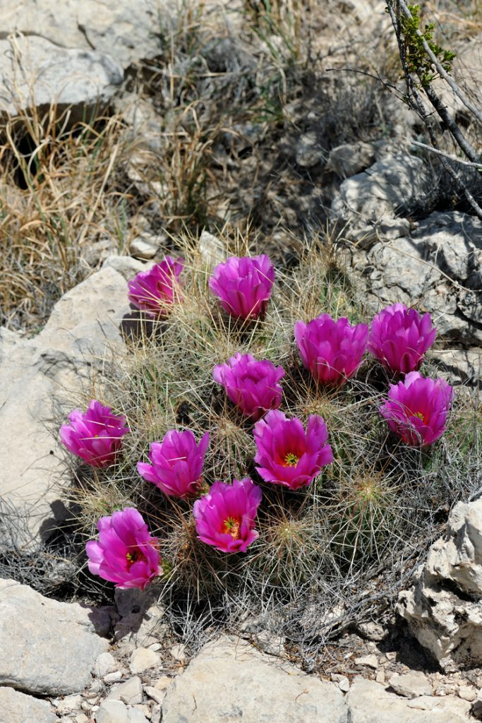 Echinocereus stramineus, USA, Texas, Pecos Co.