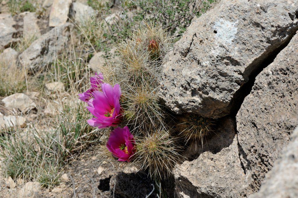 Echinocereus stramineus, USA, Texas, Pecos Co.