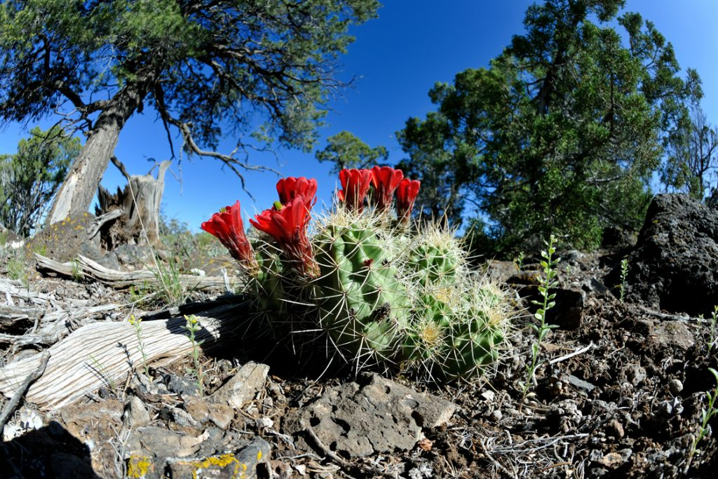 Echinocereus mojavensis, USA, Colorado, Mesa Co.