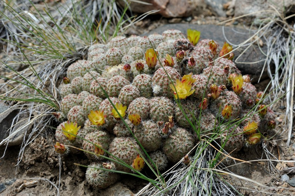 Echinocereus viridiflorus, USA, Colorado, Chaffee Co.