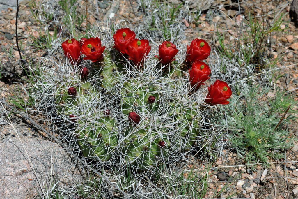 Echinocereus triglochidiatus, USA, Colorado, Fremont Co.