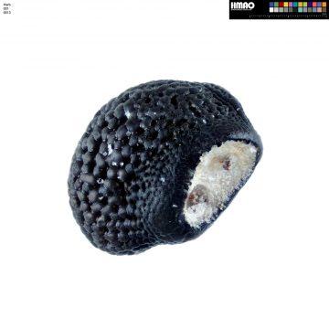 HMAO-001-0013 - Echinocereus engelmannii, USA, Arizona, Seligman-Kingman