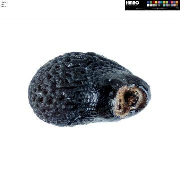 HMAO-001-0018 - Echinocereus fendleri rectispinus, USA, Arizona, Sonoita