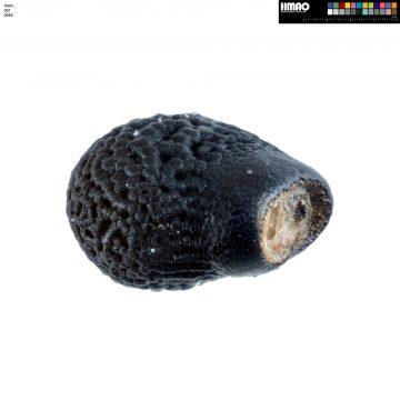 HMAO-001-0082 - Echinocereus engelmannii fasciculatus, USA, Arizona, Montezuma Well