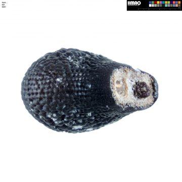 HMAO-001-0091 - Echinocereus bakeri, USA, Arizona, Granite