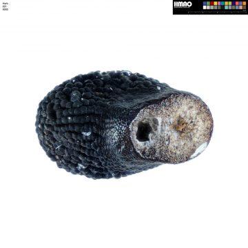HMAO-001-0092 - Echinocereus sharpii, Mexico