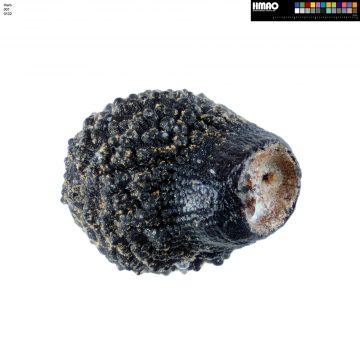 HMAO-001-0132 - Echinocereus pamanesiorum, Mexico, Zacatecas, San Juan Capistrano