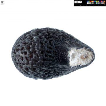 HMAO-001-0166 - Echinocereus mojavensis, USA, Arizona, Kayenta