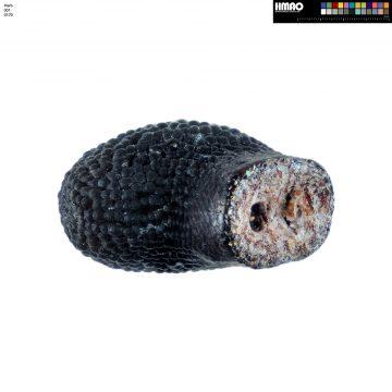 HMAO-001-0170 - Echinocereus salm-dyckianus, Mexico, Chihuahua, La Junta-Yecora