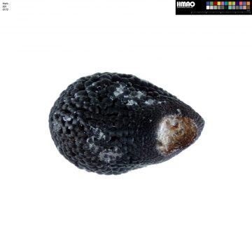 HMAO-001-0172 - Echinocereus engelmannii magnursensis, USA, California, Big Bear Lake