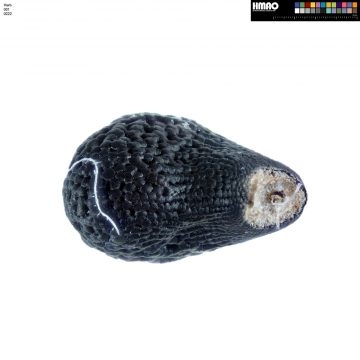 HMAO-001-0222 - Echinocereus coccineus, USA, New Mexico, Manzano