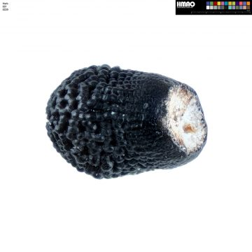 HMAO-001-0229 - Echinocereus pectinatus, Mexico, Detras