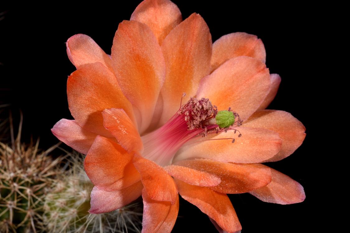 Echinocereus salm-dyckianus, Mexico, Sonora, Yecora - San Nicolas