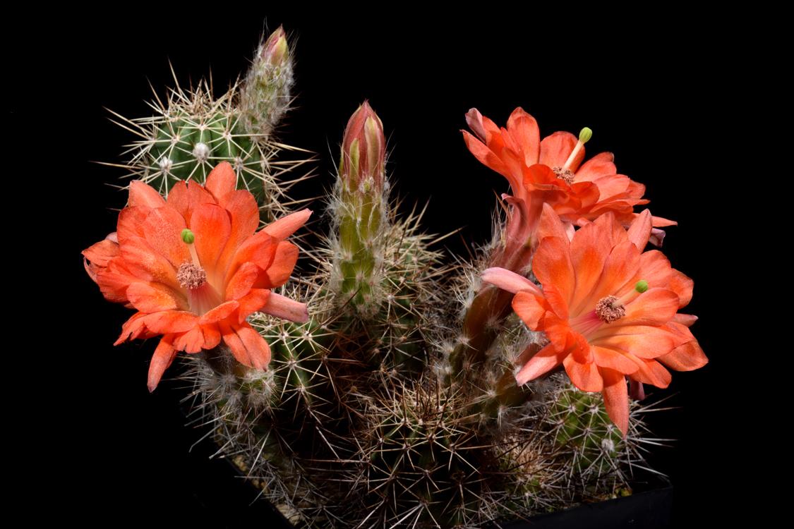 Echinocereus salm-dyckianus, Mexico, Sonora, La Junta - Yecora