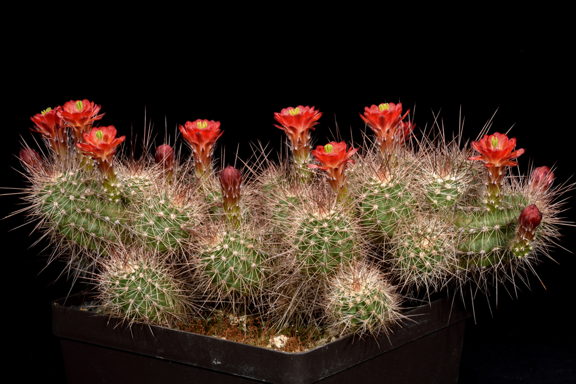 Echinocereus bakeri, USA, Utah, Virgin - Zion