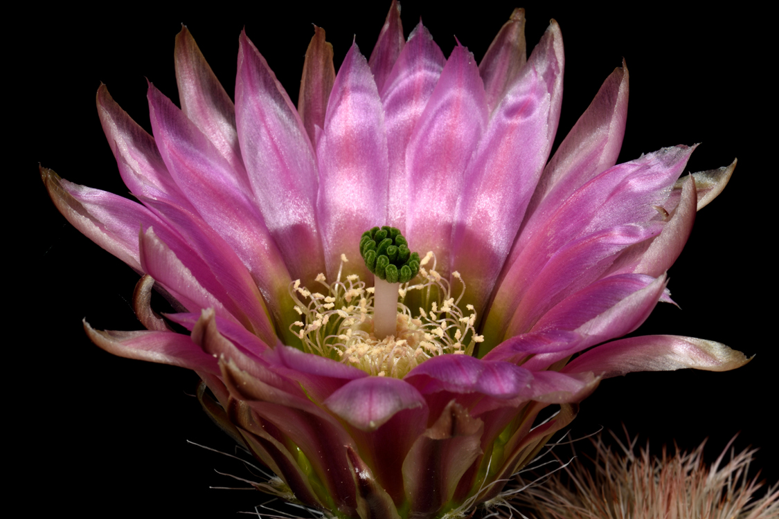 Echinocereus dasyacanthus subsp. crockettianus, USA, Texas, Crockett Co., SB405