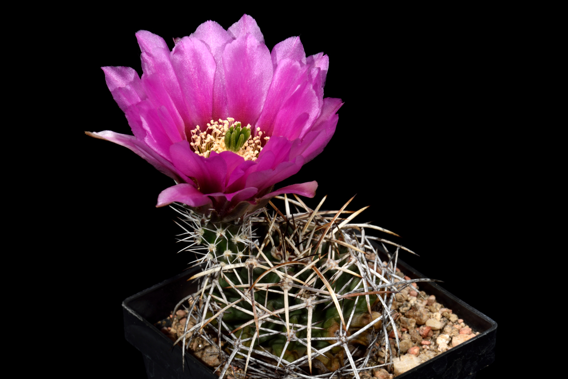 Echinocereus fendleri subsp. kuenzleri, USA, New Mexico