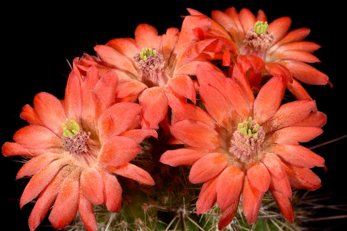 Echinocereus polyacanthus, Mexico, Durango, Las Minas Navidad