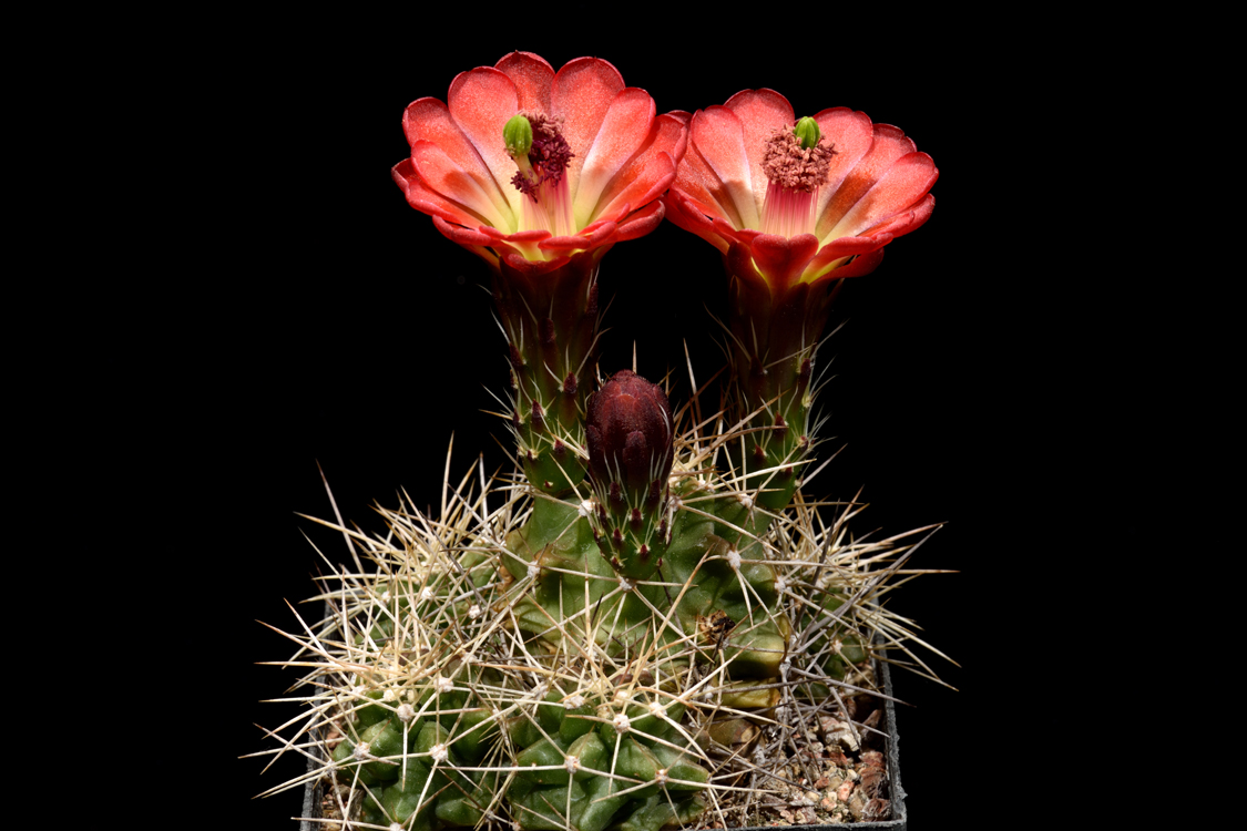 Echinocereus triglochidiatus, USA, Colorado, Slick Rock