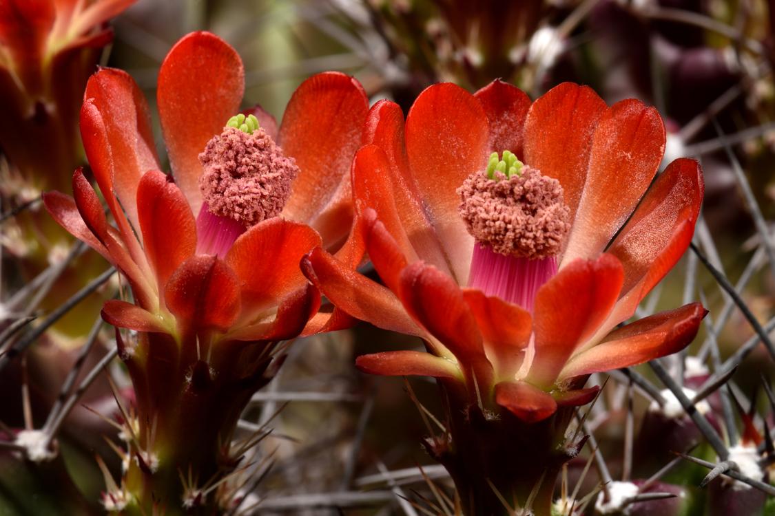 Echinocereus coccineus subsp. paucispinus, Eagle Nest Canyon