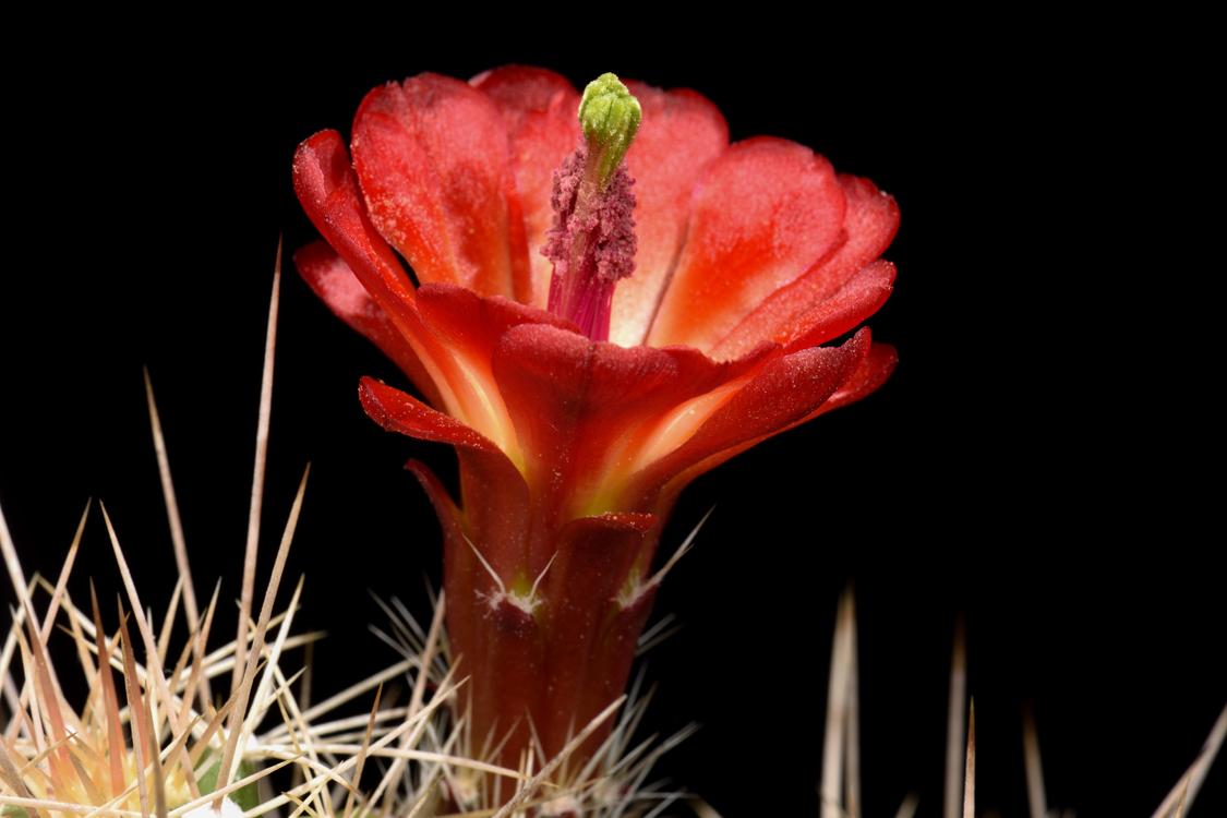 Echinocereus mojavensis, USA, Utah, Moab